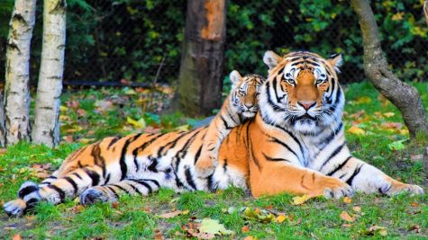 A tiger and her cub.