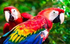 Two Macaws stay close together in the jungle.