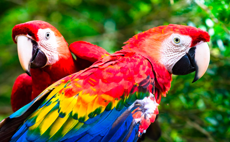 Two+Macaws+stay+close+together+in+the+jungle.